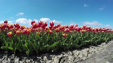 tulipany : Ground view of fresh tulips orange red colored dirt and beautiful mix of colors during spring season in Holland, known for its large tulipfields growing all kind of colored tulips blue sky background