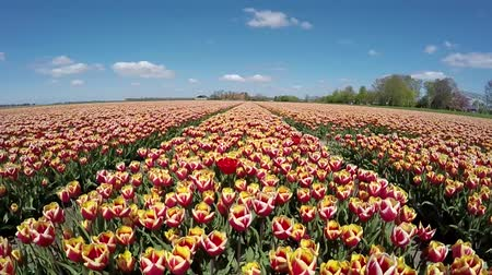amsterodam : Aerial of orange red tulipfield forward slowly flying over rows of flowers low height birdview showing flowers slowly moving by wind blue sky background spring day great Dutch tourist attraction Dostupné videozáznamy