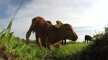 born calf : Low angle footage of mother cow and young calf lying on grass field looking around cute cow cattle brown color and yellow ear tags friendly and quiet just born animal green grass farm landscape 4k Stock Footage