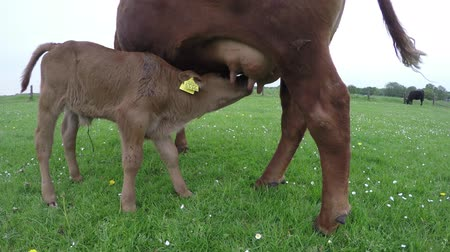 born calf : Close up of calf drinking milk from mother cow on grass field looking around cute cow cattle brown color and yellow ear tags friendly and quiet just born animal green grass farm landscape summer 4k Stock Footage
