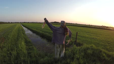 recentemente : Aerial during sundown scarecrow hay-man in shape of human Usually dressed in old clothes Placed in open fields to discourage birds from disturbing and feeding on recently cast seed growing crops 4k