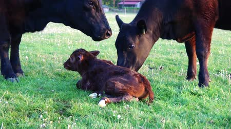 born calf : New born beautiful cute calf struggling to rise to its feet fifth attempt mother cow licking young infant vigorously Aberdeen Angus cattle summer evening on green grass field minutes afterbirth