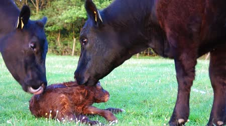 cattle birth : New born calf struggling to rise to its feet but then falls down again mother cow licking young infant vigorously Aberdeen Angus cattle beautiful summer evening green grass field minutes afterbirth