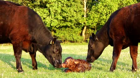born calf : New born calf struggling to rise to its feet very first Attempts mother cow licking young infant vigorously Aberdeen Angus cattle beautiful summer evening on green grass field minutes afterbirth