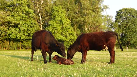 born calf : New born calf struggling to rise to its feet second and third attempt mother cow licking young infant vigorously Aberdeen Angus cattle beautiful summer evening on green grass field minutes afterbirth