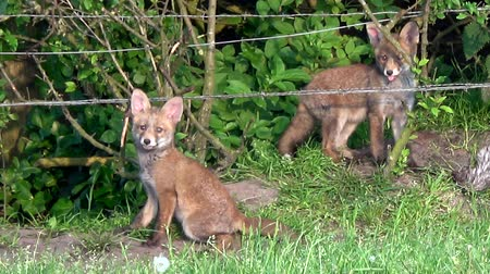 adapt : Close up of young fox cub eating bird and brother or sister playing around in bushes beautiful cute red-coated animals upright triangular ears pointed slightly upturned snout and long bushy tail 4k