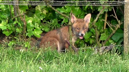 adapt : Close up of young fox cub eating bird and then joined by brother sister in bushes beautiful cute red-coated animals upright triangular ears pointed slightly upturned snout and long bushy tail 4k Stock Footage