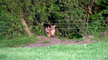 adapt : Young fox cubs moving around Their home landscape green grassland and forest around fox holes beautiful red coat upright triangular ears pointed slightly upturned snout and long bushy tail 4k