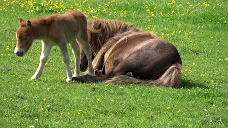 just born : Young horse foal just born and standing on its feet looking around nearby horse mother then walking some steps and falling down and stays down its tail waving green field with some flowers 4k quality