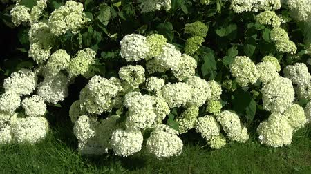ortanca : Low angle close up footage of white Hydrangea shrubs flowering plants flowers are produced from early spring to late autumn they grow in flowerheads corymbs or panicles beautiful plants 4k