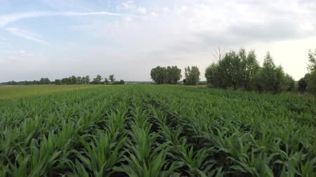 еще : Aerial fast and low across cornfield young green maize plants moving straight backwards showing the green fresh cornfield cereal crop is about two months old and not yet ready for harvest 4k quality