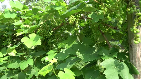 еще : Green vineyard showing young fresh grapes not showing yet if thesis are table grapes for wine jam jelly juice or vinegar raisins grapes are a non-climacteric fruit type or occurring in clusters 4k