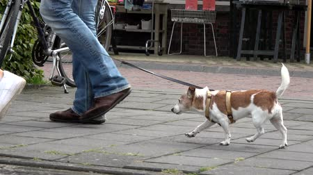 pointing dogs : Beautiful low angle dolly shot or two people letting out walking the dog JRT feet moving fast to keep up walking pace or owners brown white colors tail pointing up cute friendly dog ??4k