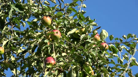 еще : Apple tree showing red and green apples hanging in the tree low hanging fruit almost ripe green and red color ook showing green leaves and through them a crips blue sky in the background 4k quality Стоковые видеозаписи