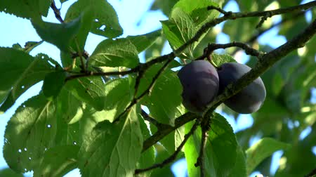 еще : Fresh not yet ripe purple plums low hanging fruit showing the tree branch moving slowly by wind and blue sky background fruits HAS dark purple color and green leaves not yet ready for picking 4k