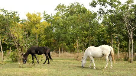kurak : horses in pasture Stok Video