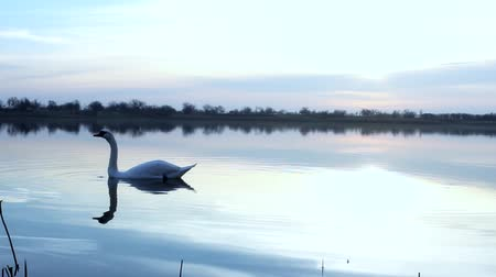 lasting : swan and beautiful lake sunrise Stock Footage