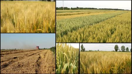 шелуха : harvest ..wheat ,barley ,grain..harvest .agriculture field multi screen