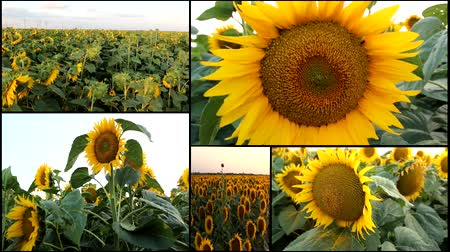 kulaklar : SUNFLOWER FIELD multiscreen