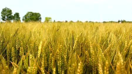 pszenica : wheat barley grain golden agricultural field meadow in vojvodina serbia