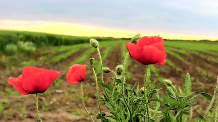 escarlate :  Coquelicot, Ponceau green field in the background ,sunset