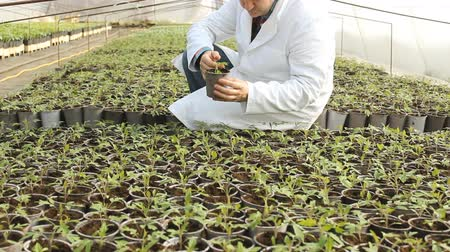 rolnik : Green vegetables  in greenhouses,farmer