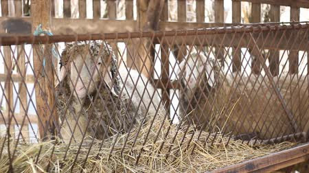 ature : sheep on the farm Stock Footage