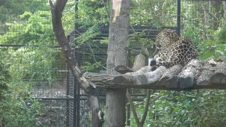 panter : Jaguar in animal zoo