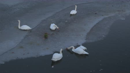 lasting : Swans in night frozen lake