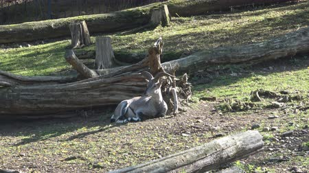 chamois : chamois in the nature Prague Zoo Stock Footage