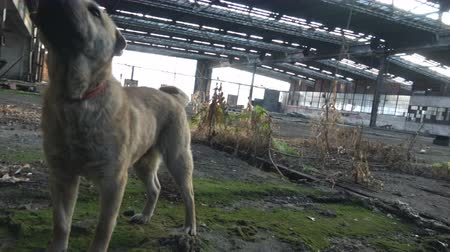 zbourán : Abandoned stray dog in Ruin factory