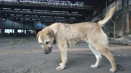 abandonar : Abandoned stray dog in Ruin factory