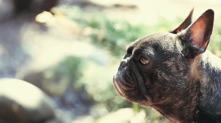 buldog : French Bulldog Spring garden Wideo