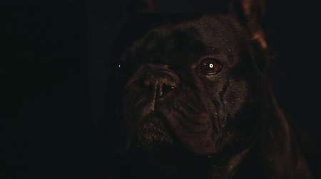 grappig hond : Franse Bulldog interieur Stockvideo