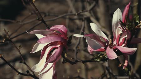 magnólia növény : magnolia tree flowers nature