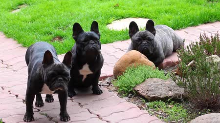 buldok : Black French Bulldog Garden