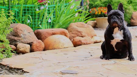 buldog : Black French Bulldog Garden