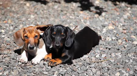 perritos : Dachshund Dog summer garden