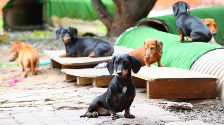 harness : Dachshund Dog summer garden