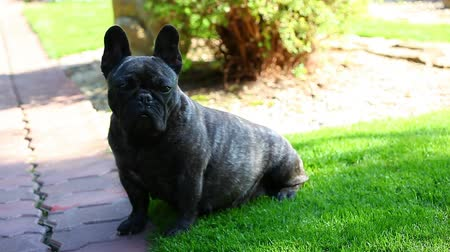 buldog : Black French Bulldog Garden hd Wideo