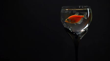 goldfish : wine glass fish dark background hd footage studio Stock Footage