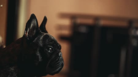 buldog : black french bulldog soap bubbles Wideo