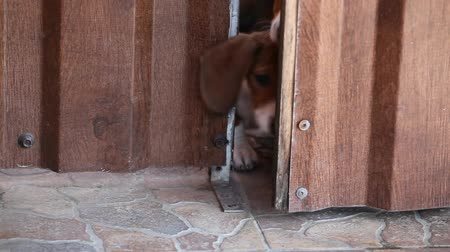 daksund : Dachshund puppy and wooden door hd footage