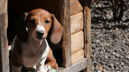 gaiola : Dachshund puppy  hd footage