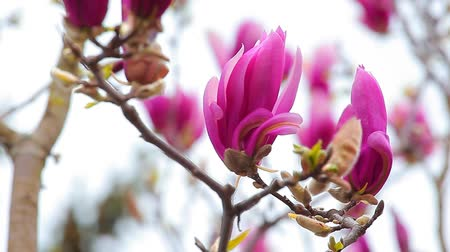 spring flowers : Pink magnolia  flower tree
