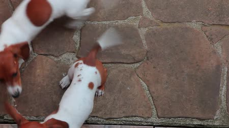 daksund : Happy Dachshund puppy  hd footage