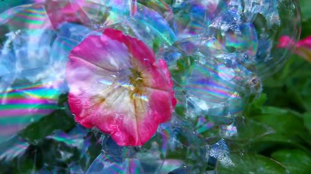 fragilidade : pink flower soap bubble background nobody hd footage