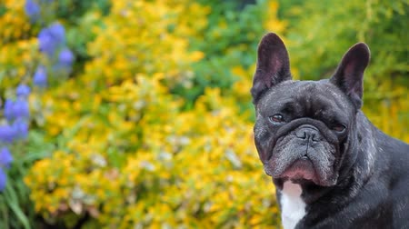 buldok : black french bulldog portrait garden hd footage Dostupné videozáznamy