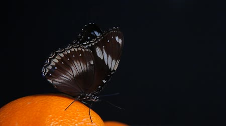 antioksidan : butterfly mandarin dark background hd footage