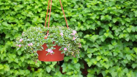Виргиния : flower pot Virginia creeper background footage Стоковые видеозаписи